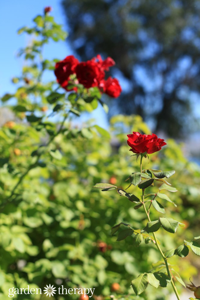 Drought-tolerant roses are a beautiful addition to the water wise garden