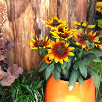 Fall Perennial container with rudbeckia in an orange pot