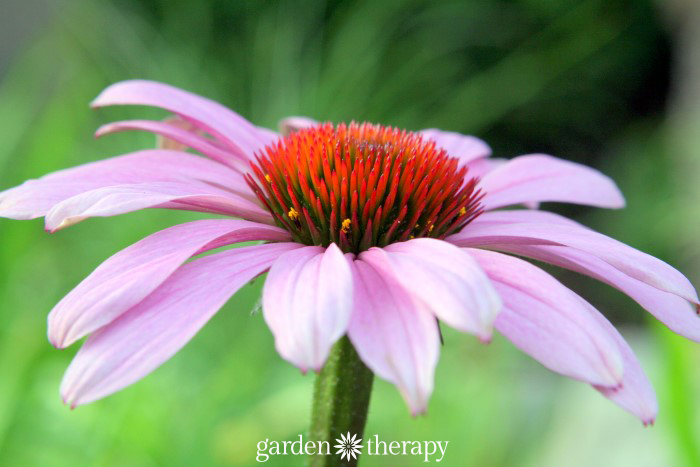 Purple coneflower for budget perennial gardening