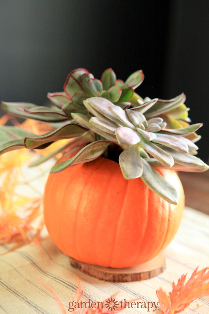 Stunning succulent pumpkin arrangement