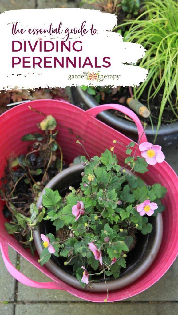 The Essential Guide to Dividing Perennials