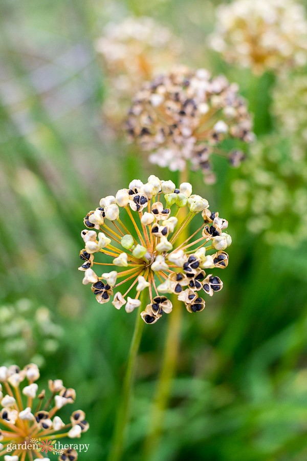 Chive seed heads growing in the garden