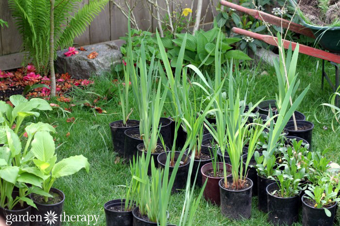 get free plants from dividing perennials
