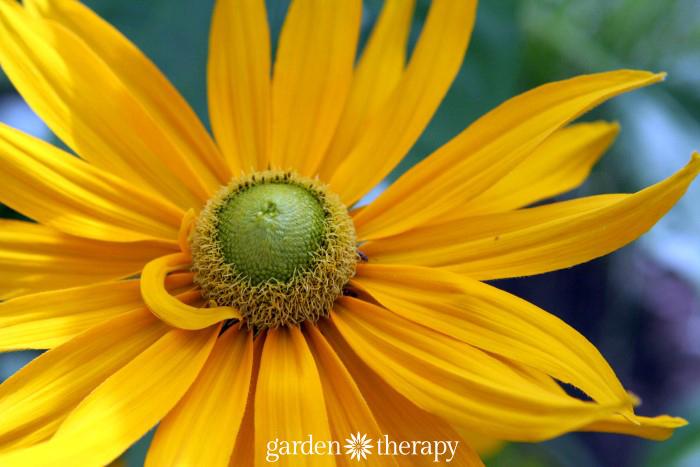 Green Eyed Susan For Budget Perennial Gardening