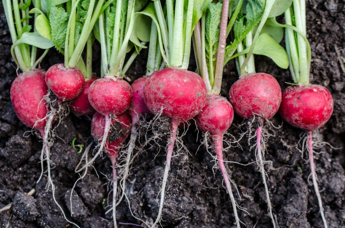 Radishes Are The Speediest Vegetables
