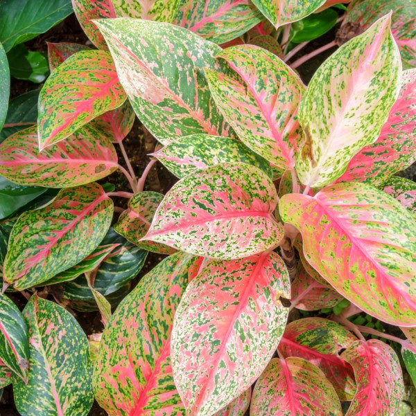 Chinese evergreen with variegated red and green leaves