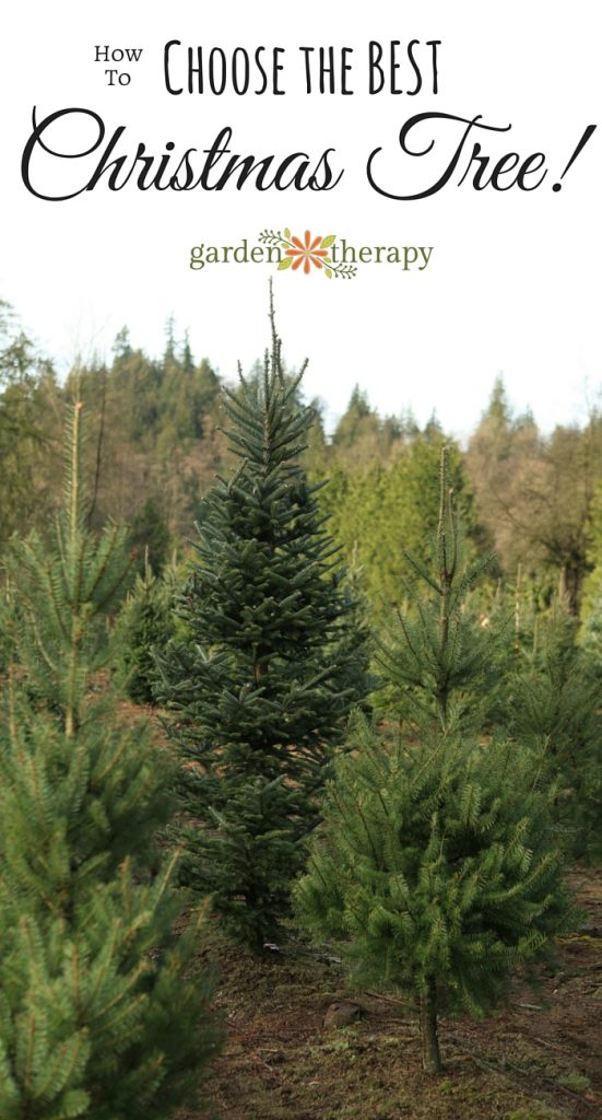 how to pick the best fresh christmas tree. Black Bedroom Furniture Sets. Home Design Ideas