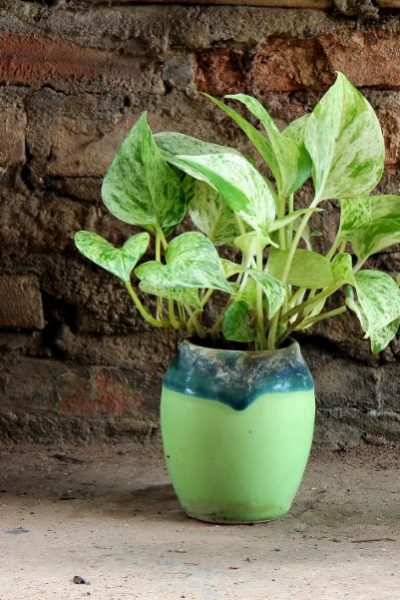 Devil's ivy growing in a ceramic pot
