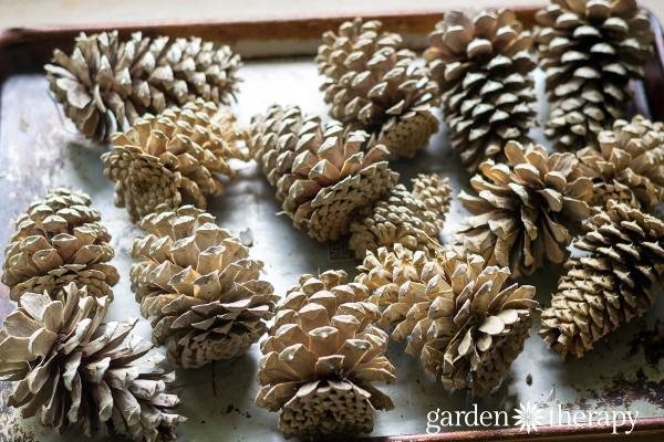 Dry Pinecones