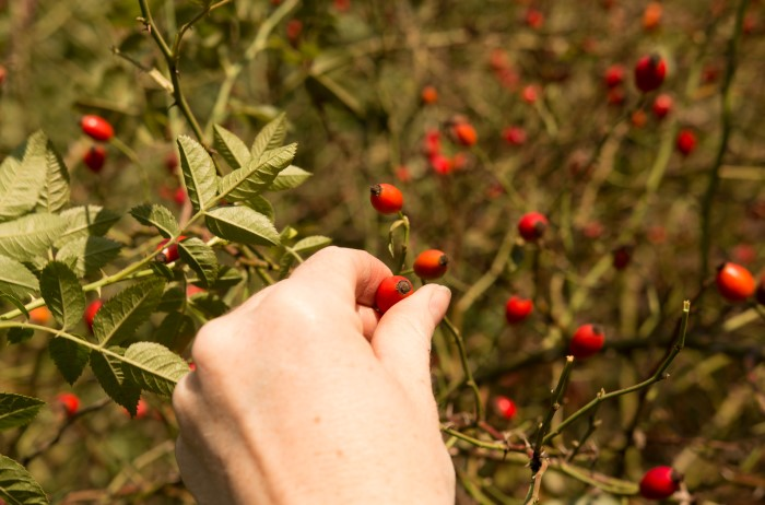 hand picking fresh rose hips for herbal tea in autumn