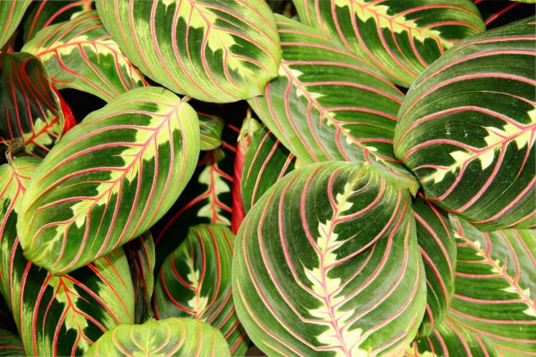 Prayer plant with green leaves and red markings