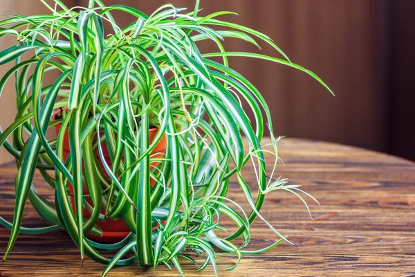 Spider plant with low light setting