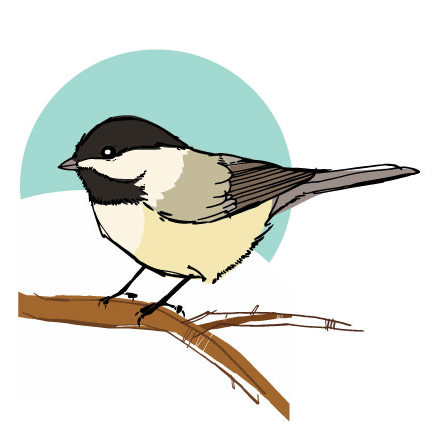 Backyard birds: chickadee