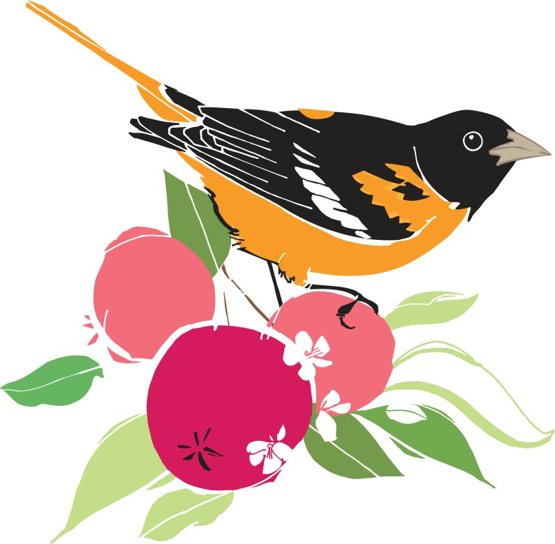 Backyard birds: oriole