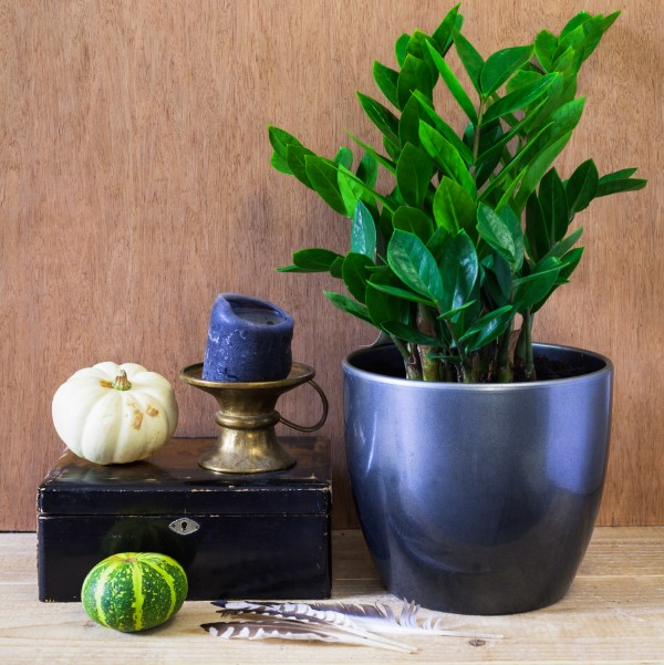 ZZ plant in a decorative display with small gourds and knick knacks