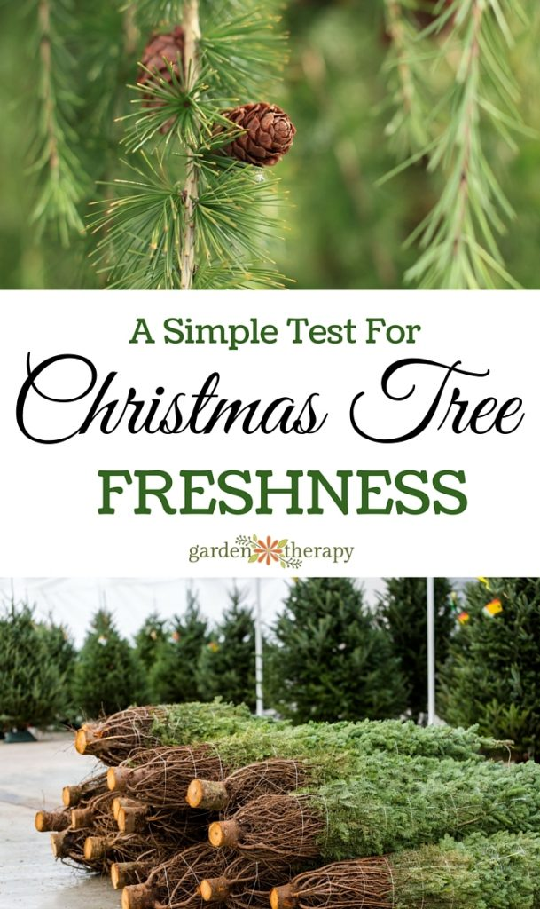 A simple test you can do to make sure you pick the freshest tree