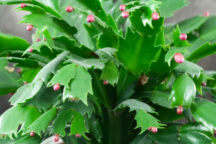 Christmas cactus setting buds and beginning to flower