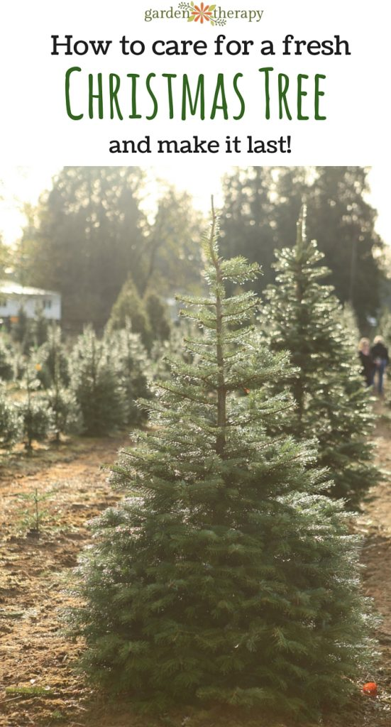 how to care for a fresh christmas tree and make it last