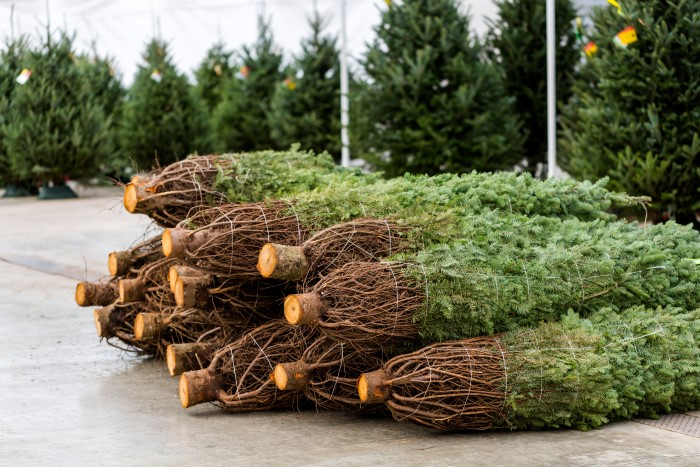 how to pick the freshest Christmas tree