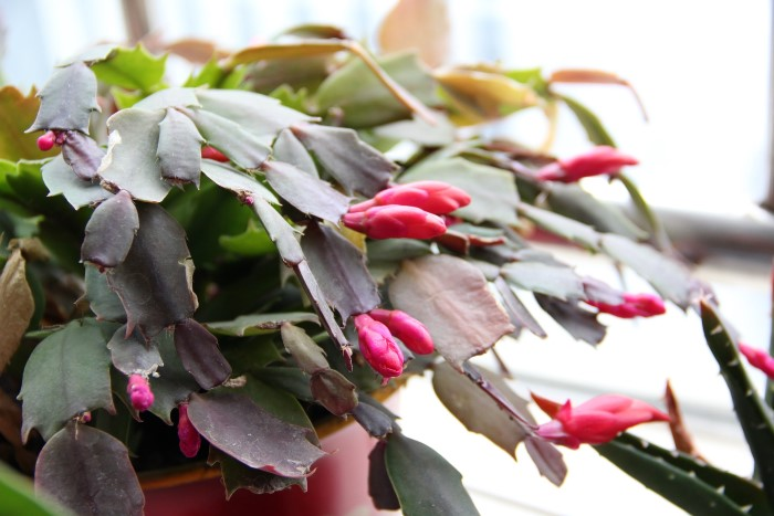 What A Christmas Cactus Needs To Bloom