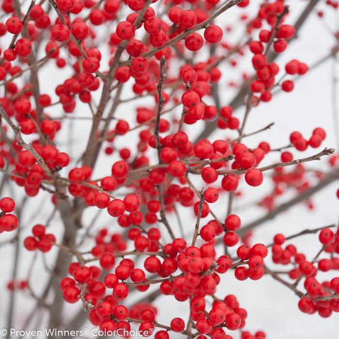 berry poppins winterberry