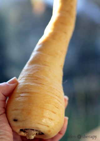 Ugly Parsnip (to be transformed!)
