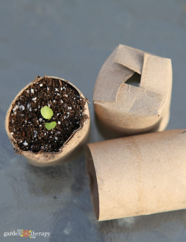 Seedling growing in a toilet paper tube