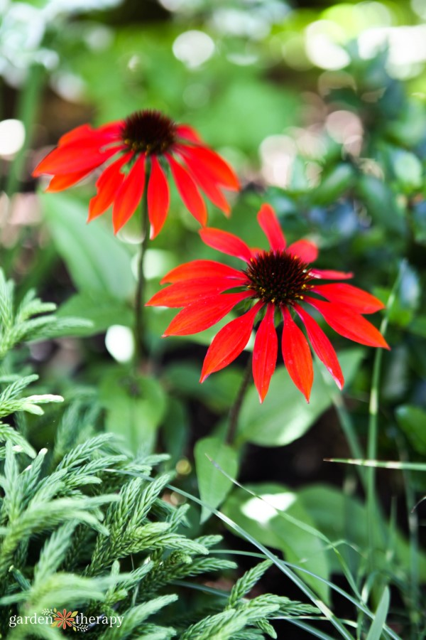bright red echinacea flowers