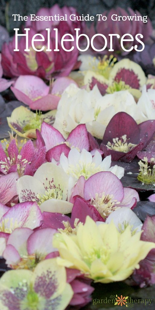 Everything You Wanted to Know About Growing Hellebores
