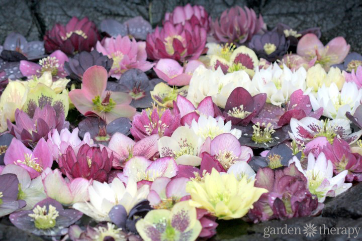 Growing Hellebores Essential Guide 1