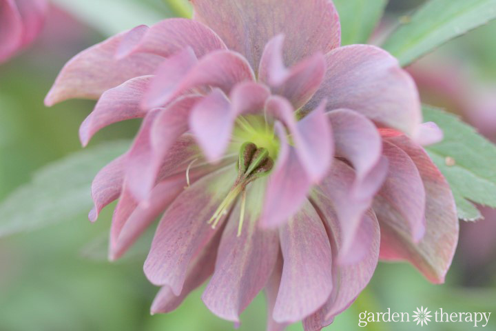 Growing Hellebores Essential Guide (4)