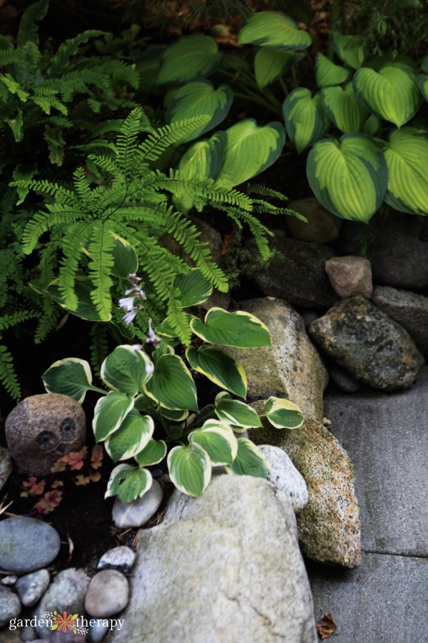 The Essential Guide To Growing Hostas The Shade Garden Beauty