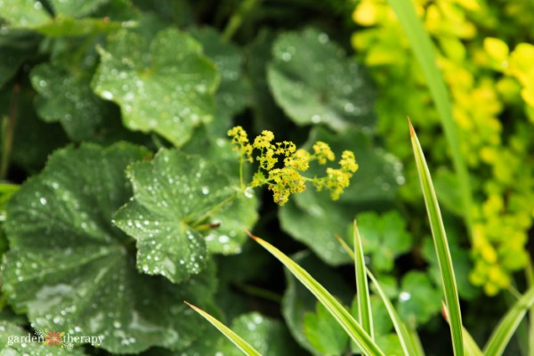 lady's mantle is a hardy perennial that thrives in shade