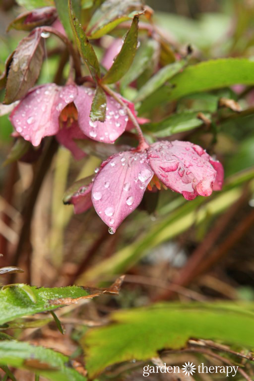 Rain Covered hellebore in winter coastal garden