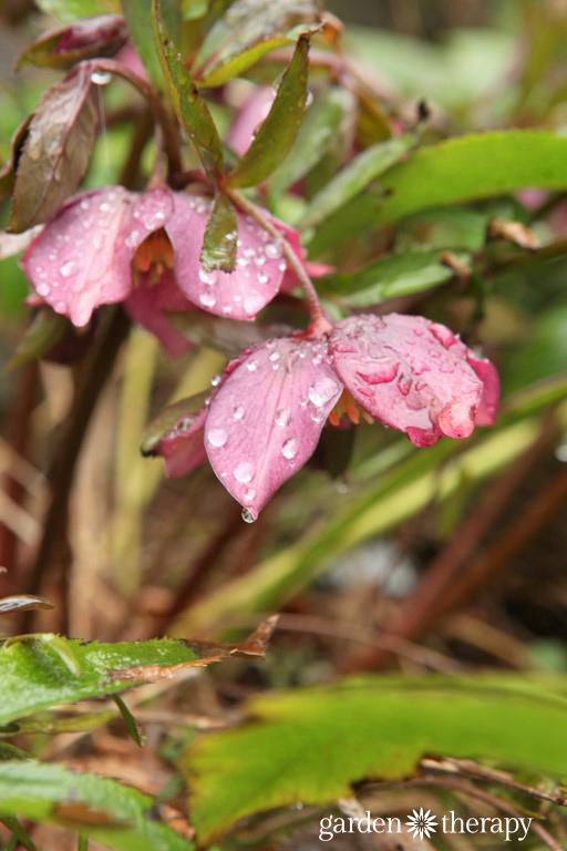 Rain Covered hellebore in winter coastal garden