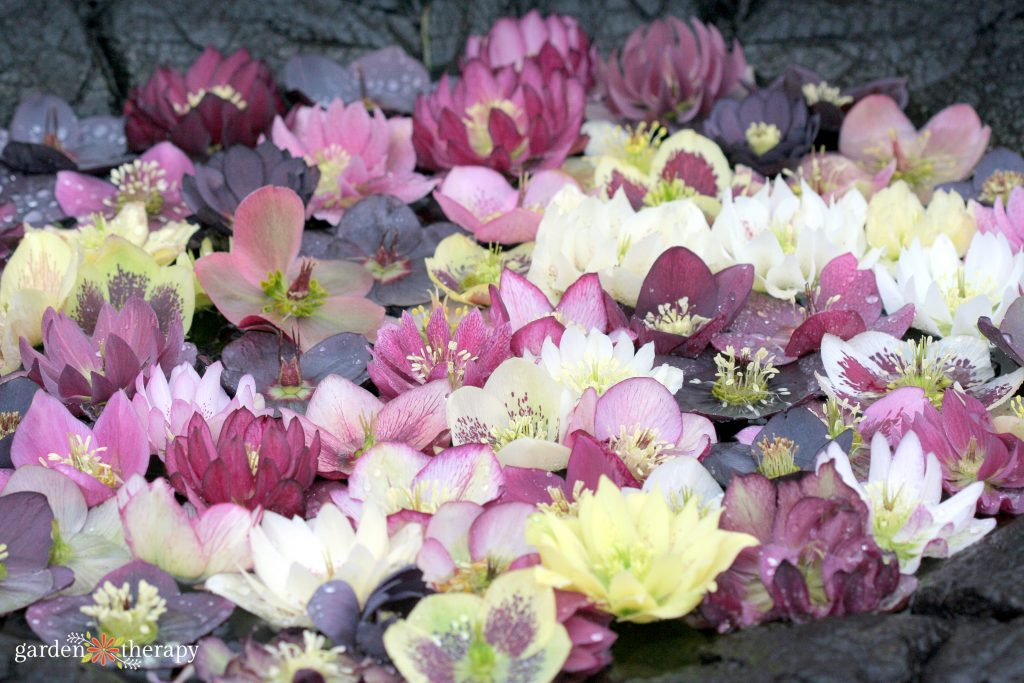 close up of a variety of hellebore flowers