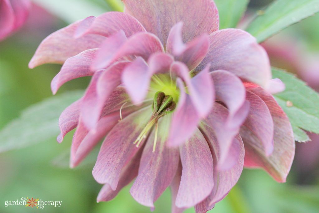 Full pink hellebore with yellow center