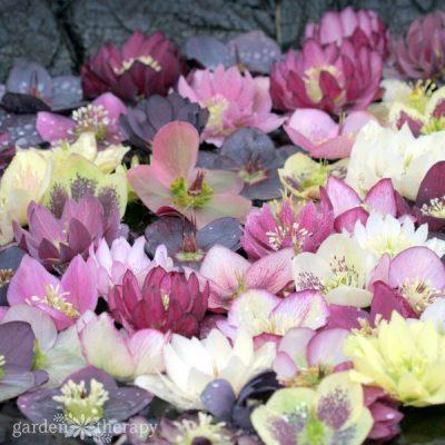 Hellebore flowers floating in water