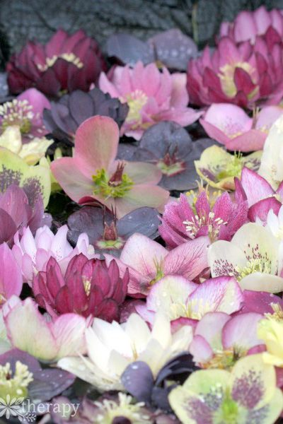 Hellebore flowers floating in water