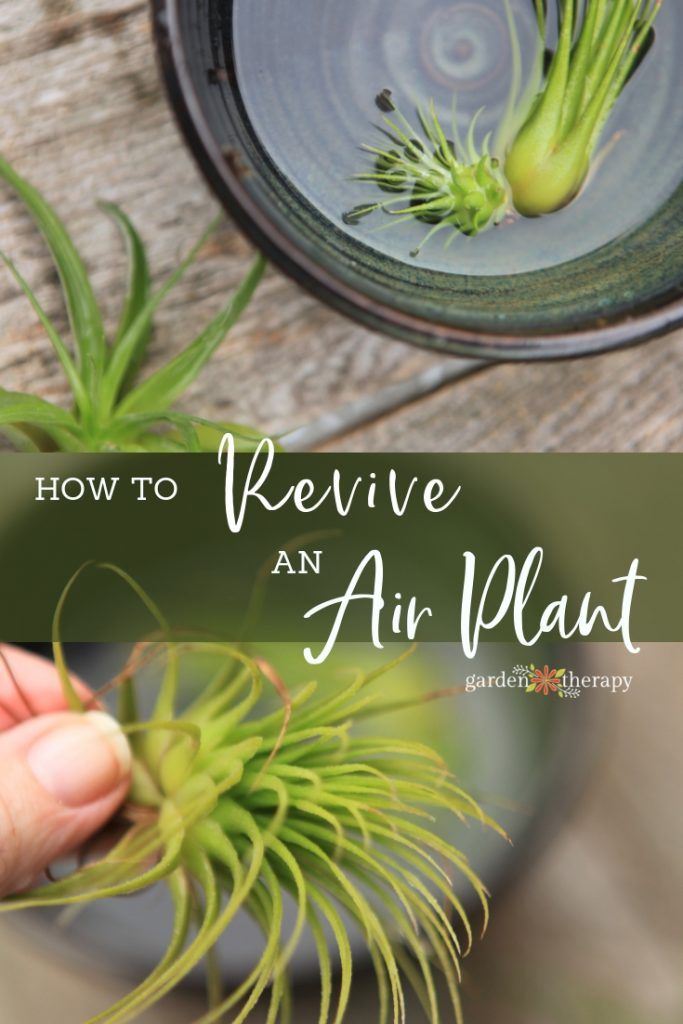 How to Revive a Sick Air Plant