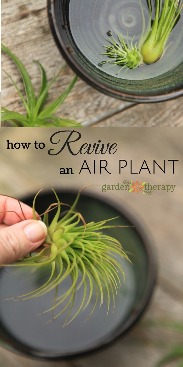 To revive a sick air plant that has been a tad neglected, shipped from far, far away, or just looking a little under the weather, this guide will show you how to perk it back up! #gardentherapy #airplant #tillandsia