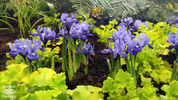 Iris and Heuchera