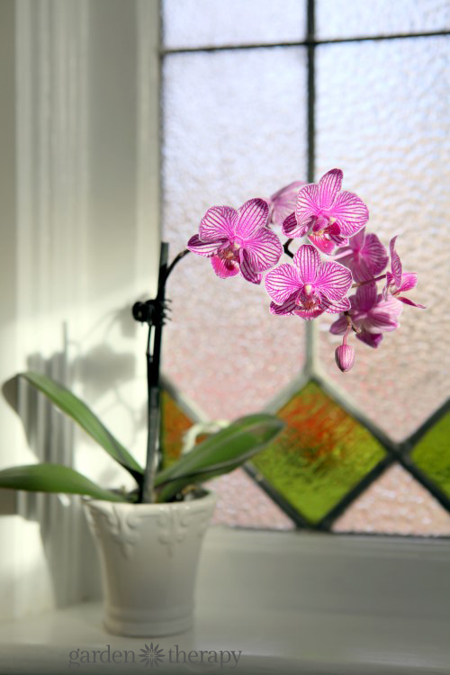 Purple Potted Orchid on windowsill