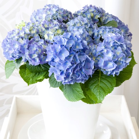 Hydrangea Early Blue