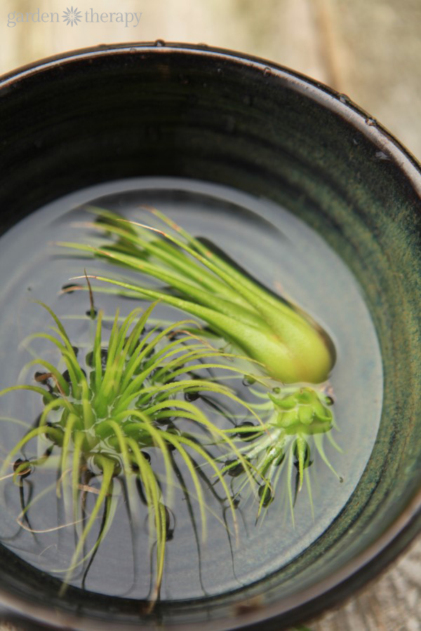 tillandsia care guide