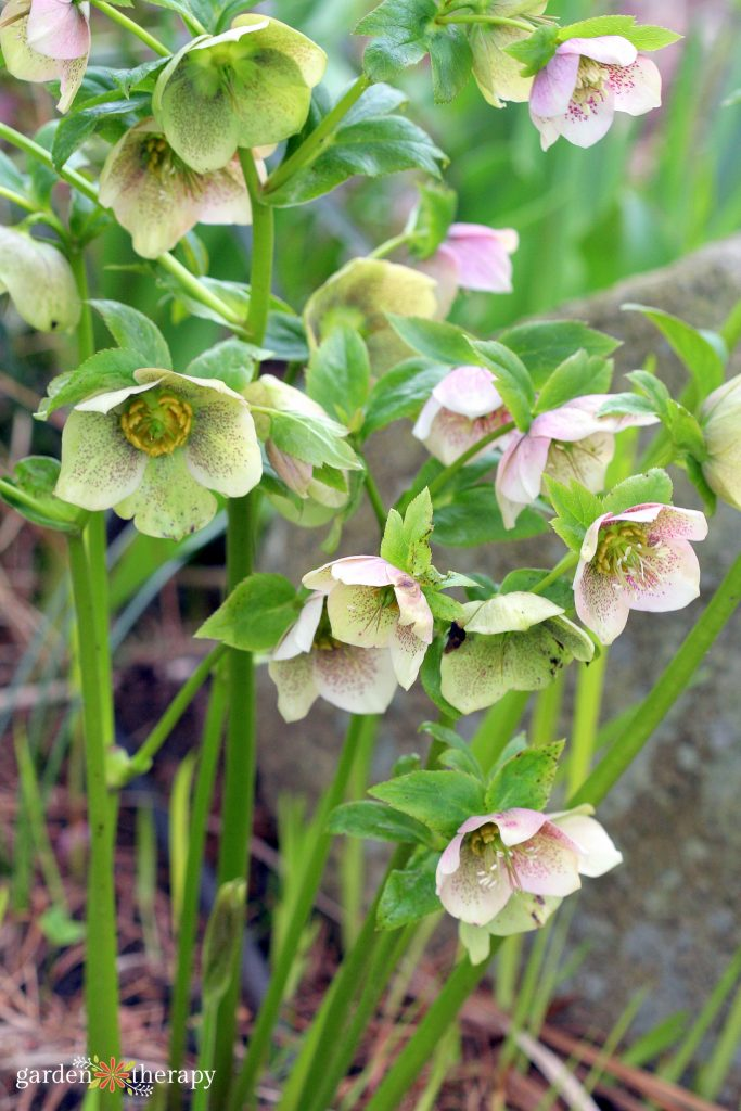 Cluster of hellebores growing in the ground