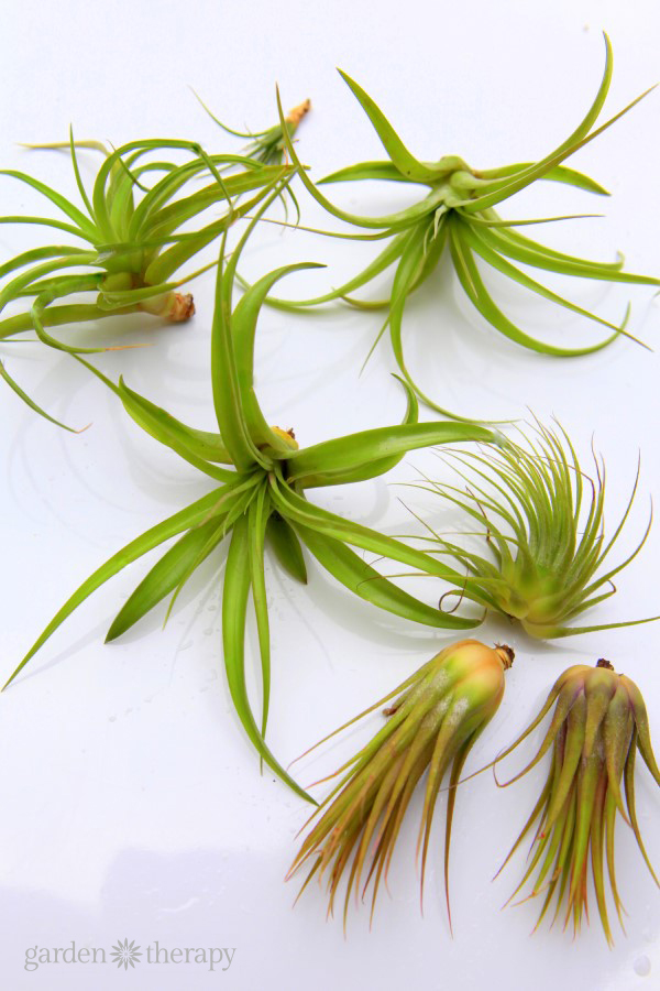 air plants in need of soaking and pruning