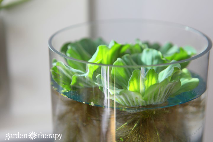 water lettuce indoor garden