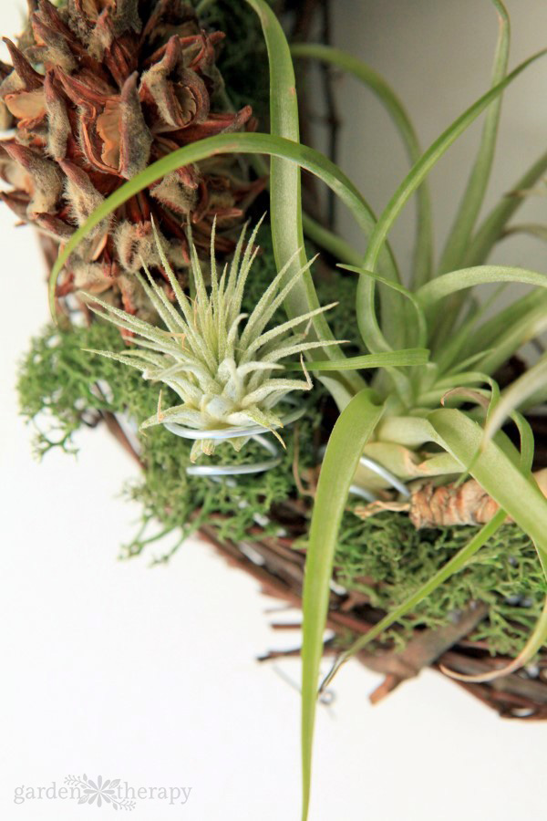 Close-up image of a wreath base with air plants and moss attached