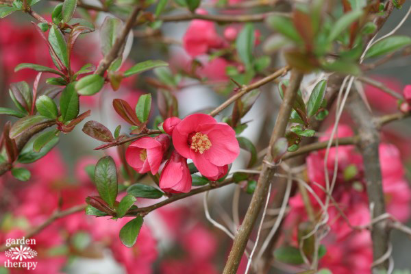 Flowering Quince From Pruning 101